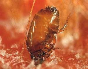 flea control huntington beach