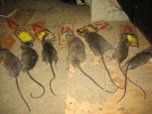 rat control huntington beach